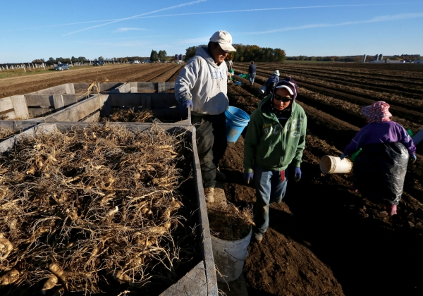 The harvest on Hsu's operation includes an aging workforce of area Hmong, Laotian and Vietnamese that average 60 years i